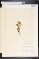 Image of Gentianella germanica