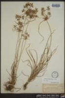 Cyperus polystachyos image