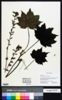 Image of Ainsliaea acerifolia