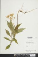 Aster acuminatus image