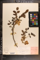Robinia hispida var. hispida image