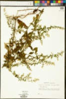 Symphyotrichum ontarionis image