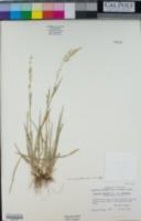 Image of Trisetum projectum