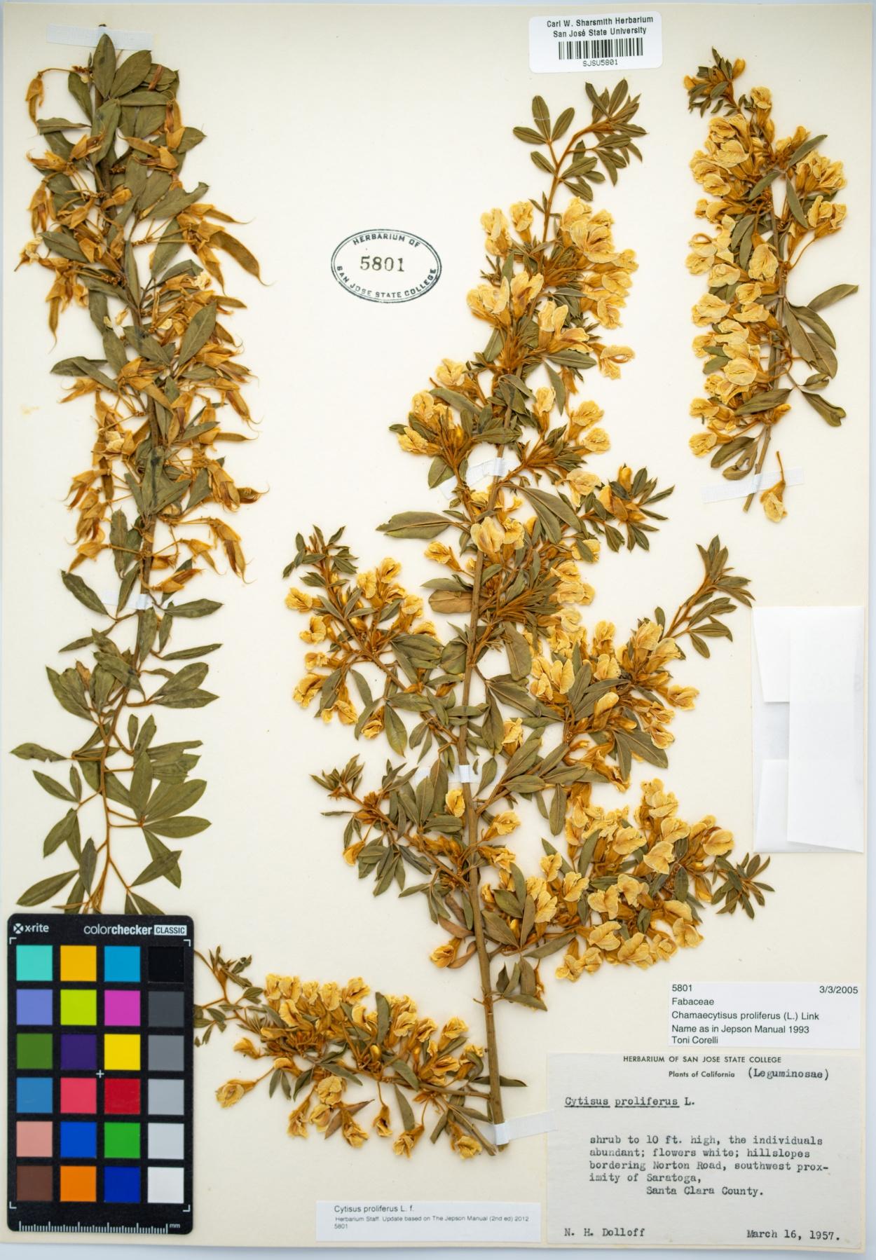 Cytisus proliferus image