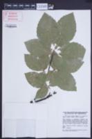 Image of Fagus orientalis