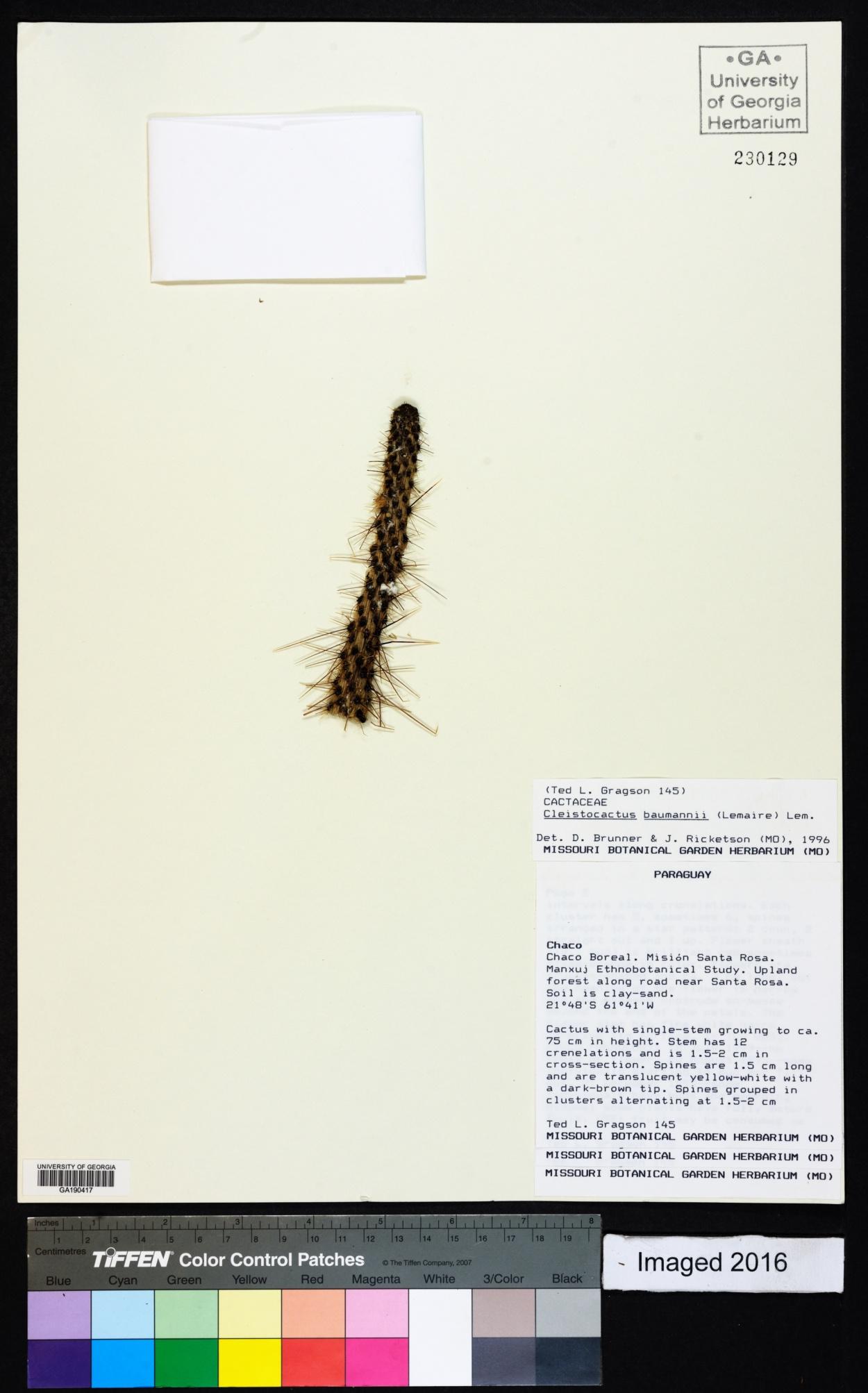 Cleistocactus baumannii image