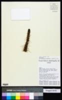 Image of Cleistocactus baumannii