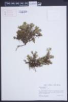 Image of Pectis humifusa