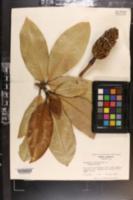 Image of Magnolia gigantifolia