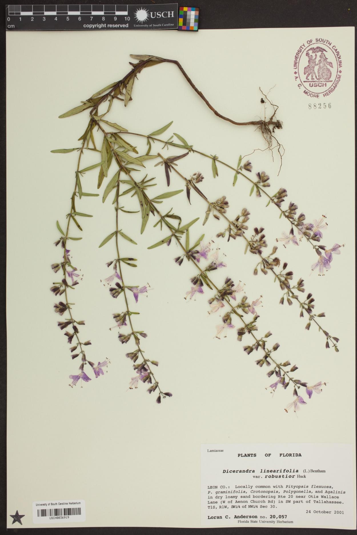 Dicerandra linearifolia var. robustior image