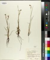 Image of Sisyrinchium amoenum