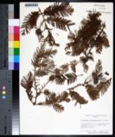 Metasequoia glyptostroboides image