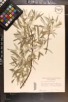 Elaeagnus angustifolia image