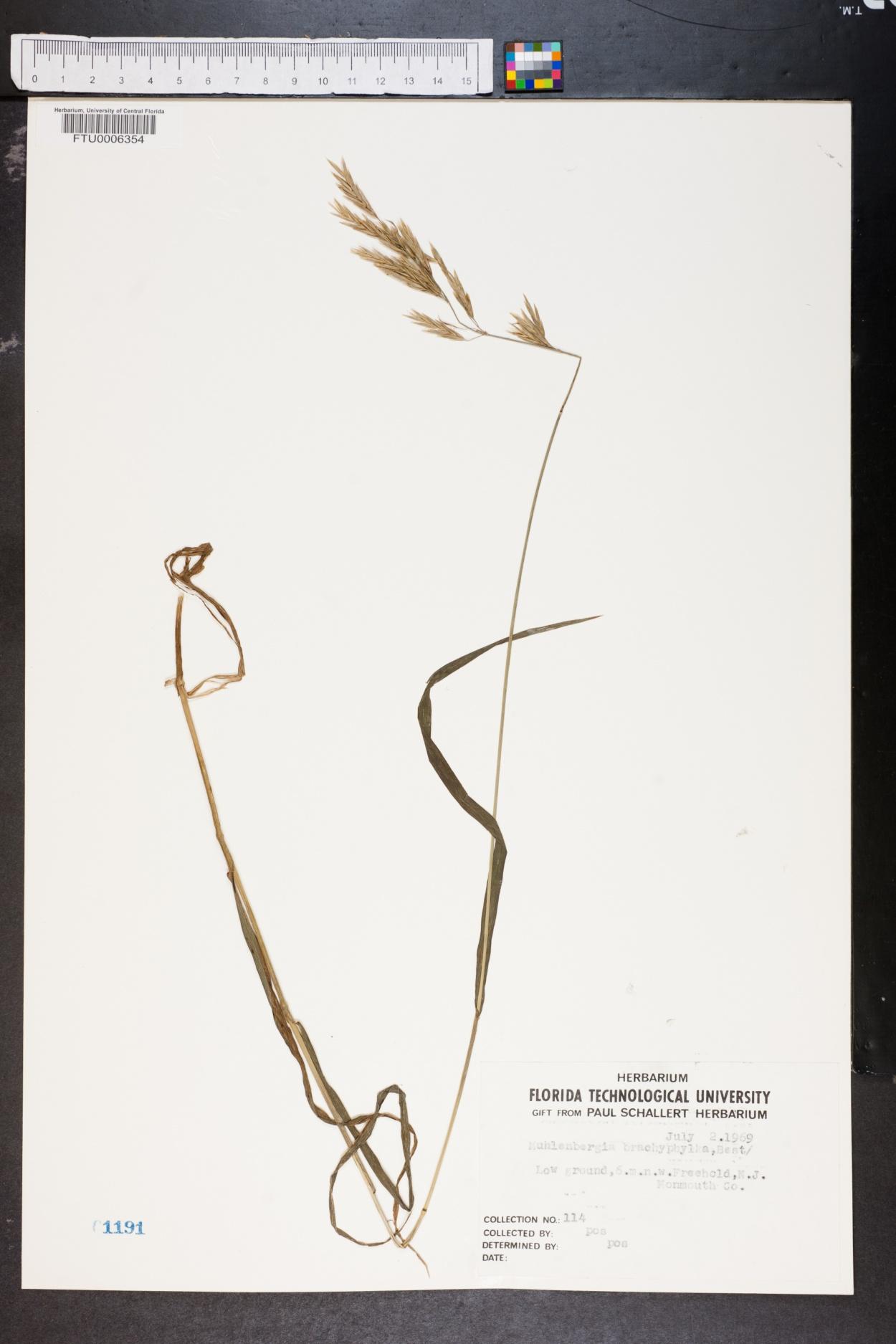Muhlenbergia brachyphylla image
