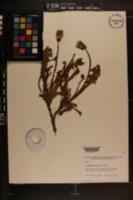 Image of Taraxacum alpicola