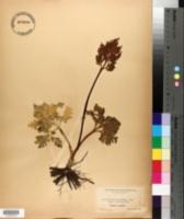 Botrychium ternatum var. intermedium image