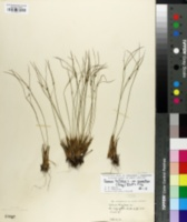 Image of Juncus monanthos
