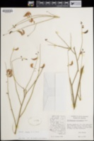 Caesalpinia virgata image