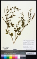 Hemiscola aculeata image