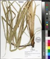 Carex hyalinolepis image