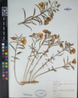 Clarkia deflexa image