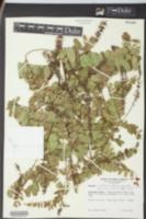 Amorpha confusa image