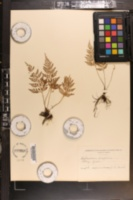 Asplenium fragrans image