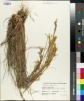 Cymbopogon plurinodis image