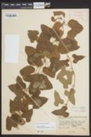 Dioscorea oppositifolia image