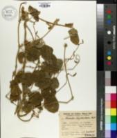 Image of Phaseolus erythroloma