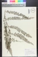 Image of Vandenboschia auriculata