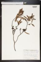 Image of Eucalyptus leptophleba