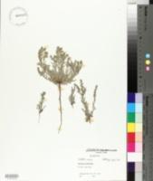 Lappula occidentalis image