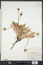 Taraxacum officinale subsp. officinale image