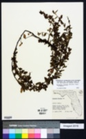 Melochia villosa image