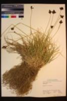 Carex helleri image