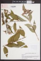Spiraea japonica image