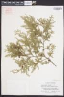Chamaecyparis thyoides image