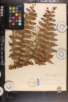 Image of Dennstaedtia cornuta