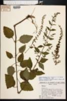 Image of Condea floribunda