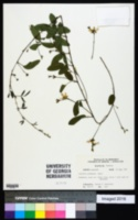 Image of Galactia prostrata