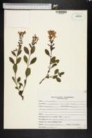 Image of Scutellaria arenicola
