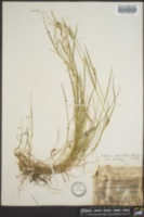 Glyceria fernaldii image