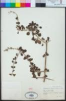 Citharexylum flabellifolium image