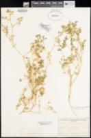 Chamaesyce platysperma image