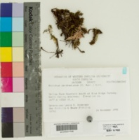 Image of Atrichum oerstedianum
