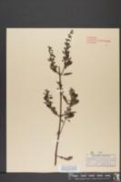 Gerardia virginica image