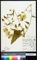 Image of Kosteletzkya depressa