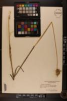 Allium oleraceum image