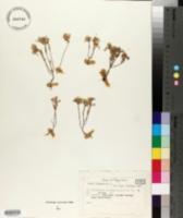 Image of Sedum hispanicum